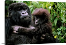 A female mountain gorilla and her child, Rwanda