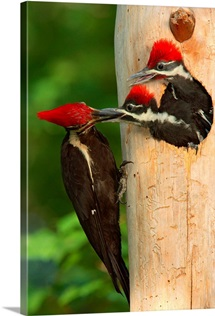 A female pileated woodpecker feeds it's chick, Dare County, North Carolina