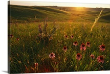 A field of purple coneflowers at sunrise