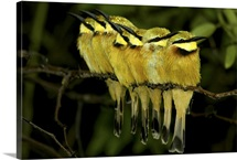 A flock of bee-eater birds on a twig, Mombo, Okavango Delta, Botswana