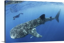 A free diving photographer approaches a giant whale shark