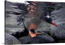 A gentoo penguin peeks beneath the water before taking the plunge