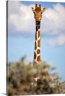 A giraffe on Borana Ranch, Laikipia, Kenya