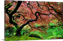 A gnarled and moss covered Japanese maple in full bloom