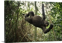 A gorilla swinging from a vine, Plateaux Bateke National Park, Gabon