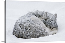 A gray wolf, Canis lupus, curls up in the snow to sleep