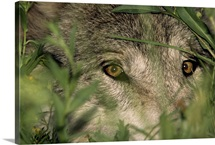A gray wolf peering through vegetation