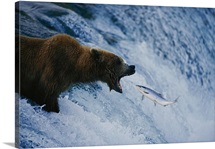 A grizzly bear catching salmon at the Brooks Falls fishing grounds, Alaska