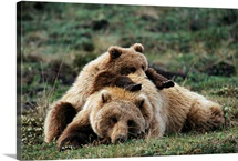 A grizzly bear cub stretches across his mother's back, Alaska