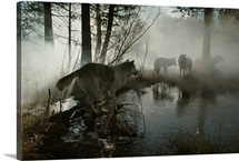 A group of gray wolves, Canis lupus, stop at a foggy watering hole