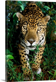 A jaguar looks at the photographer