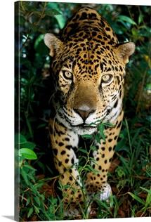 A jaguar looks at the photographer