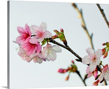 A Japanese cherry tree bursts forth in blossoms