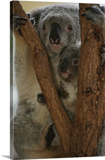 A koala and its baby cling to a eucalyptus tree in eastern Australia