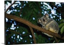 A koala bear clings to a eucalyptus tree in eastern Australia