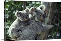 A koala bear hugs a tree while her baby clings on to her back