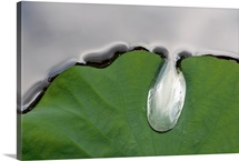 A large water drop puddling atop a water lily leaf