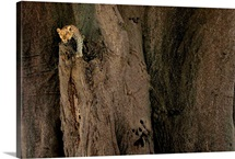 A leopard lying in Baobab tree, Mombo, Okavango Delta, Botswana
