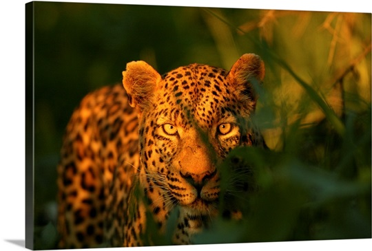 A leopard, Panthera pardus, in tall grasses at twilight