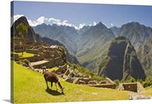A llama grazing at the pre-Columbian Inca ruins at Machu Picchu