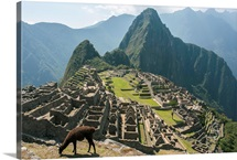 A llama grazing on the grounds of Machu Picchu, an ancient Inca city