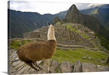 A llama looks over at reconstructed stone buildings on Machu Picchu