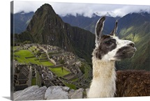 A llama on a road above Machu Picchu