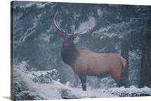 A magnificent bull elk stands amidst a snowfall in the Vermilion Lakes area, Banff National Park, Alberta, Canada
