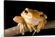 A Malaysian golden gliding frog (Polypedates leucomystax)