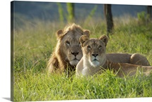 A male and female lion rest in the grass