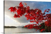 A maple tree in fall foliage frames a view of Barnard Harbour, Princess Royal Island, British Columbia, Canada