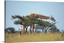 A Masai giraffe eats from an acacia tree, Serengeti National Park, Tanzania