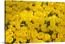 A mass of yellow tulips at a spring exhibit