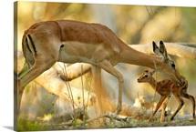 A mother antelope grooming her baby, Okavango Delta, Botswana