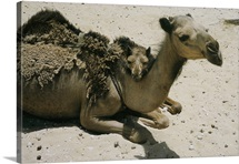 A mother camel is shedding her coat, Saudi Arabia