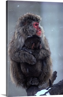 A mother Japanese macaques, snow monkey and her baby, Minnesota Zoological Garden, Minnesota