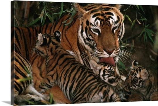 A mother tiger bathes her cubs, Bandhavgarh National Park, Madhya Pradesh State, India