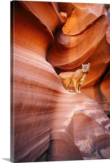 A mountain lion pauses on a ledge inside a swirled rock chasm, Arizona