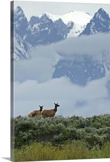 A pair of cow elk, Cervus elaphus, in the Rocky Mountains