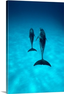 A pair of spotted dolphins sail past the camera off the coast of Grand Turk Island, Bahama Islands