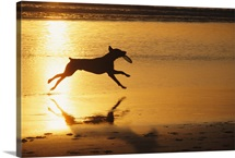 A pet dog in silhouette runs with a frisbee on a beach at sunset