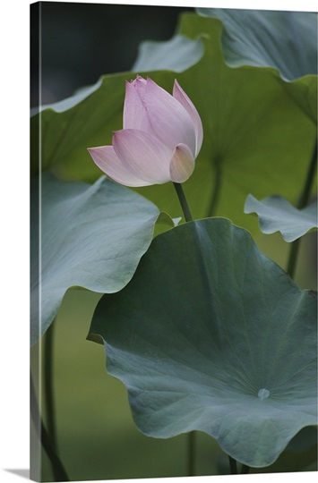 A pink blossom on a lotus plant, People&#39;s Republic of China