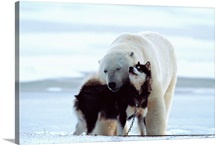 A polar bear and a husky cuddle up to each other, Manitoba, Canada