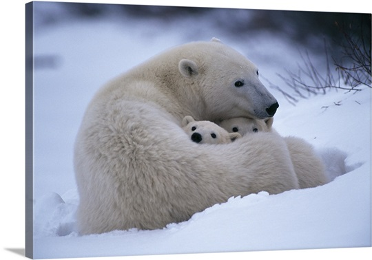 A polar bear snuggles up with her cubs, Churchill, Manitoba, Canada