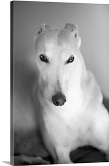A portrait of an adult male greyhound