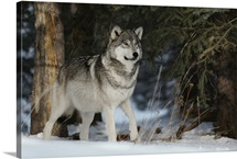 A portrait of an Alpha male gray wolf, Canis lupus, at forest's edge