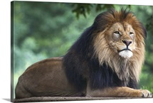 A portrait of male African lion, Panthera leo, at the National Zoological Park