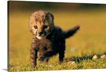A rare king cheetah cub, Namibia, Africa
