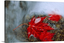 A red Maple leaf caught on a rock in swirling water, Acadia National Park, Maine