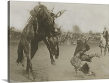 A rider topples off his horse during a rodeo